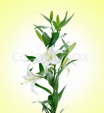 White Lily Flower Image Of A Beautiful White Lily Flowers Stock Photo Colourbox