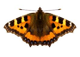 admiral butterfly stock photo image of butterfly 3820428