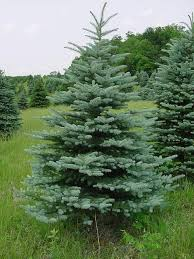 blue spruce trees forest view evergreen tree farms colorado blue spruce