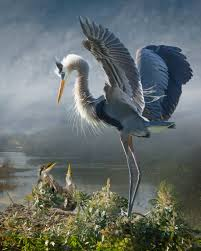 Heron Meaning by The Art Of Birds Revealed Through An Altered Reality Blue Heron