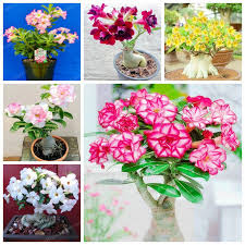 potted flowers 30 desert seed potted flowers seeds adenium obesum seed
