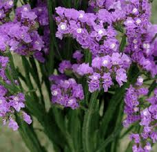 statice flowers tissue statice lavender flower also known as sea lavender marsh