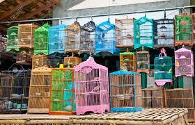 uccelli in gabbia litle uccelli in gabbia java indonesia concetto di libert罌
