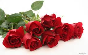 flower images rose qygjxz