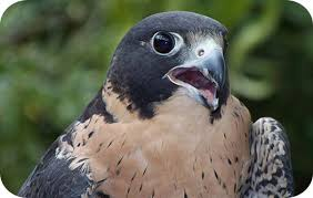 falcon animal totem and falcon meaning