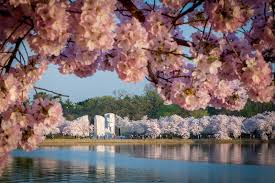 5 things you need to about the national cherry blossom