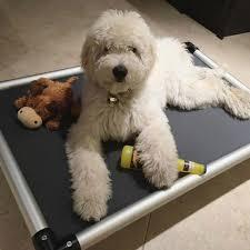american eskimo dog calgary american eskimo dog calgary 19 best my eskimo obsession images
