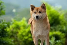 What Breed Is Doge Meme - best medium dog breeds petlife