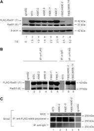 Flag Tag Dna Sequence Nascent Dna Synthesis During Homologous Recombination Is