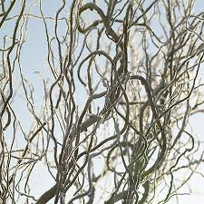 curly willow branches corkscrew willow tree for sale fast growing trees