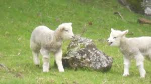 happy hopping baby lamb have a lot of fun youtube