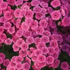 dianthus flower jolt pink dianthus flower seeds veseys