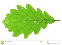 White Oak Leaf English Oak Leaves Stock Photos Images U0026 Pictures 224 Images