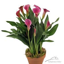 Lily Bulbs Rubylite Rose Calla Lily Bulbs For Sale Pink Calla Lily Plant