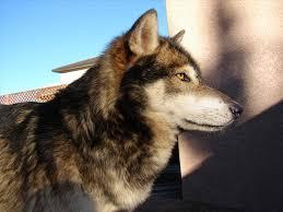 belgian shepherd timberwolf laurel german shepherd husky timberwolf mix mountain wolf hybrid