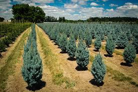 blue spruce columnar blue spruce the tree center