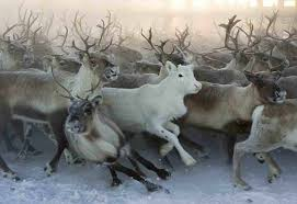 the town of vadso where white reindeer are sacred