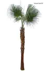 63 best palm trees images on plants buy plants