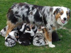 australian shepherd family dog la meg gli aussie pinterest aussies australian shepherd and dog