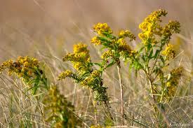 massachusetts native plants kim smith designs