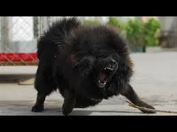 lion dogs tibetan mastiff king lion dog