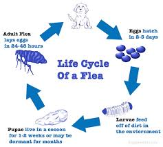 How Long Do Fleas Live In Carpet Understanding The Life Cycle Of A Flea 2