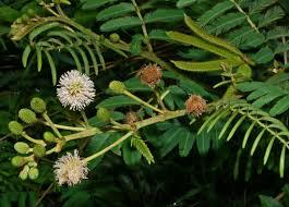 native plants of australia list mimosa in australia wikipedia
