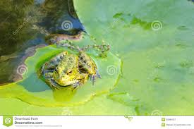 frog lily pad pond water nature wildlife stock images 109 photos