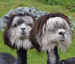 Alpaca Sheep Meme - the most fabulous alpacas hairstyles ever