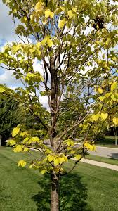 japanese tree lilac leaves spotted yellowing and falling off