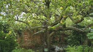 original bramley apple tree in southwell is dying news