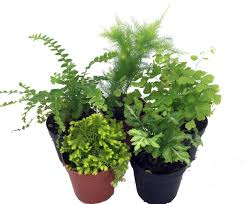 Japanese House Plants Amazon Com Fresh Flowers U0026 Live Indoor Plants Grocery U0026 Gourmet