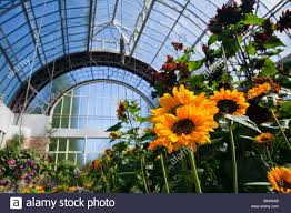 sunflowers in the wintergarden glasshouse the domain auckland
