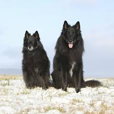 belgian shepherd qld quick facts about the 20 best herding dog breeds with pictures