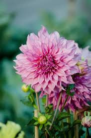 list of fall flowers dahlia wikipedia