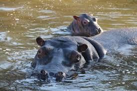 hippopotamus si鑒e social hippopotamus si鑒e social 56 images baby hippo fiona meets
