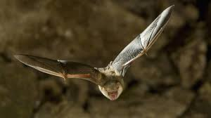 small bat rabies scare after small bat bites child scotland the times