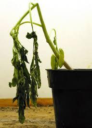 Tomato Plant Wilt Disease - r solanacearum bacterial wilt bacterial wilt of tomato