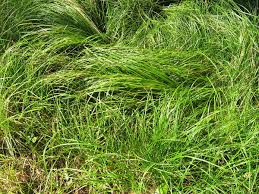 pa native plants carex pensylvanica wikipedia