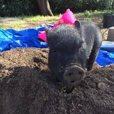 p u003e here u0027s a list of enrichment ideas for your pet pig please