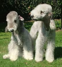 bedlington terrier guide bedlington terrier canine pals