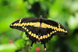 swallowtail butterfly side view stock photo image