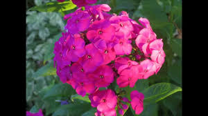 Phlox Flower დ My Beautiful Garden Phlox Flowers In The Golden Hour დ