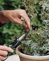 Topiarys How To Make Ivy Topiaries Martha Stewart