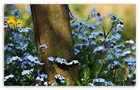 Flowers Near Me - forget me not flowers near a wooden pole hd desktop wallpaper
