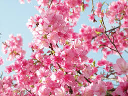 cherry blossom tree facts what is a japanese cherry blossom tree with pictures
