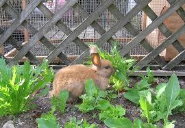 How Do I Get Rid Of Rabbits In My Backyard Rabbit Care Spca New Zealand