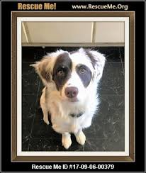 pomeranian x australian shepherd tennessee australian shepherd rescue u2015 adoptions u2015 rescueme org