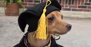 dog graduation cap and gown graduate chihuahua earns a bachelor s degree in being