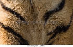 tiger chest stock photos tiger chest stock images alamy